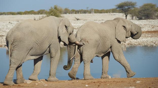 Dus elefants.