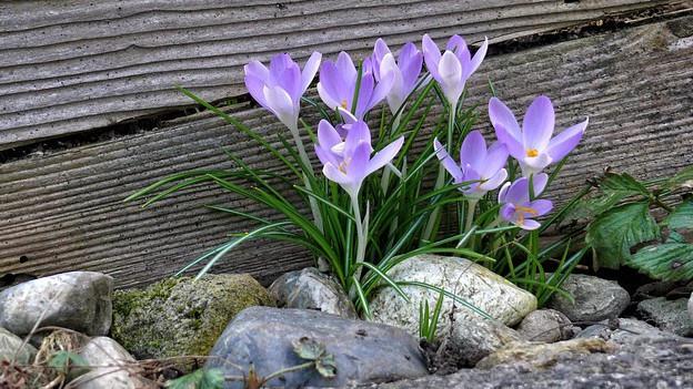 In crocus da la calur lila che flurescha davon lenna e crappa