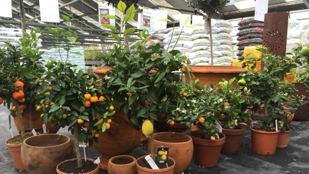 Plantas da mandarinas, oranschas e citronas.