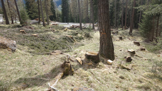 Durant trais emnas ha la gruppa forestala Surses pinà planta dasperas la Veia d'Alp a Savognin.