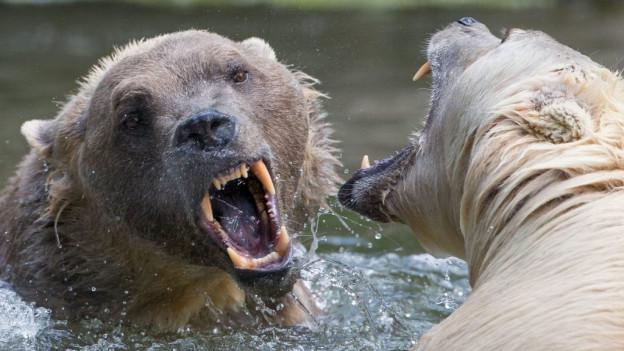 Sanester vesan ins in grizzly e dretg in urs da glatsch