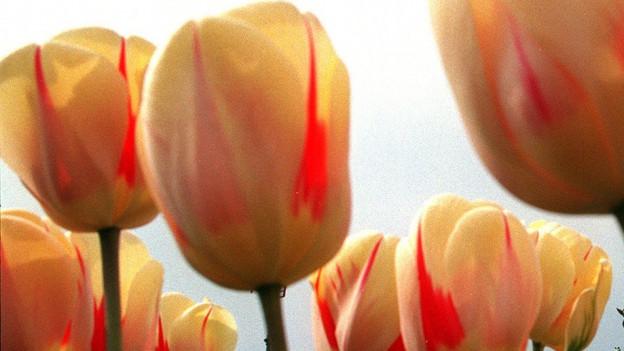 La tulipana la flur ambassadura dals Pajais Bass