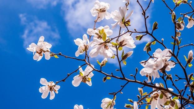 In rom cun magnolias alvas en fluriziun