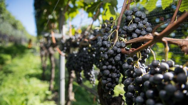Il Tessin è encounschent per buns vins.