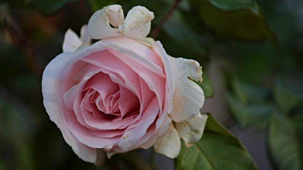 La DNA da la rosa Old Blush è decodada