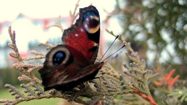 I svanescha adina daplirs insects - er en Svizra.