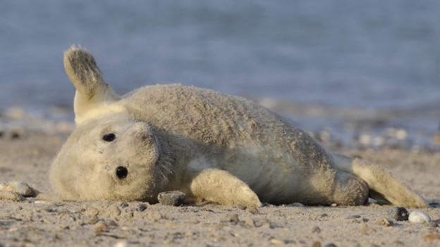 Ina da las focas da cugn pitschnas sin l'insla Helgoland