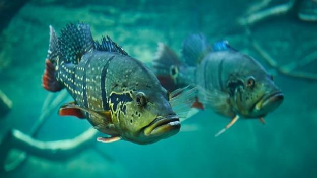 In pesch en l'aquarium da Aquatis a Losanna.