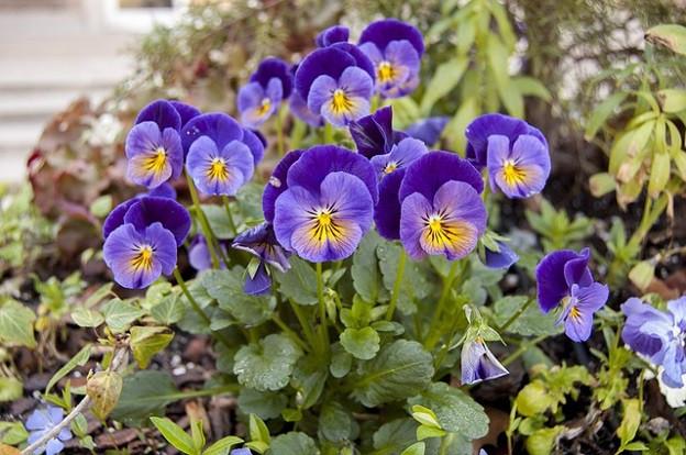 Violas violetas cun mellen en in iert