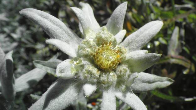 la pli bella flur alpina