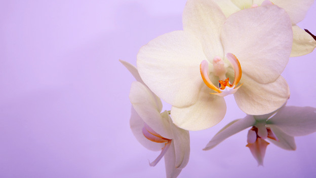 Die Mini-Orchideen sind kleiner als die normalen Orchideen.