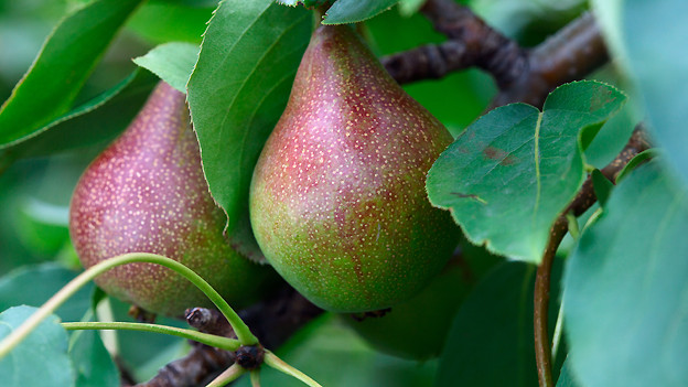 Harte, eher säuerliche Birnen eignen sich besonders gut für die Zubereiten eines «Birebrote».