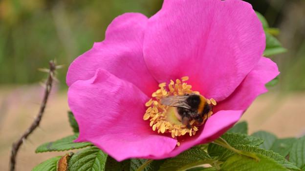 Offen blühende Rosen bieten auch Hummeln Nahrung