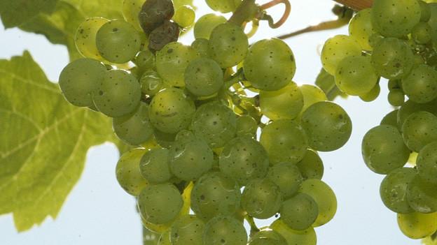 Aus unreifen grünen Trauben wird Verjus gemacht.