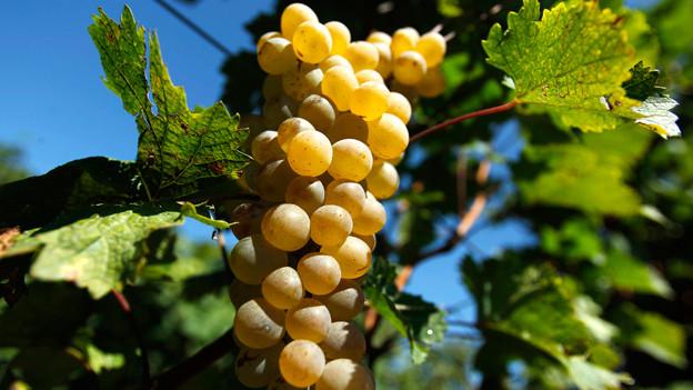 Die Trauben vom Räuschling sind gross, die Beeren hellgrün und eher dünnhäutig.