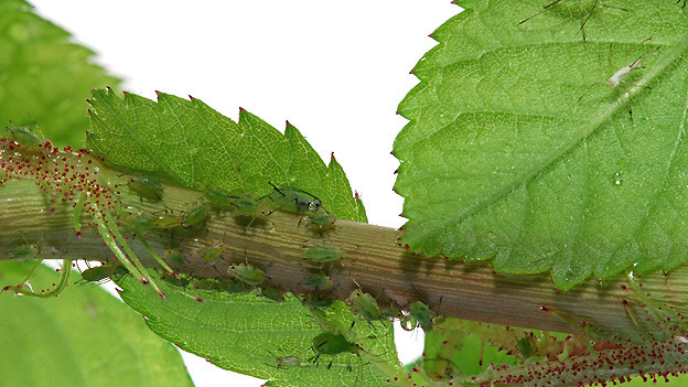 Mit warmem Wasserstrahl lassen sich Blattläuse wegschwemmen.