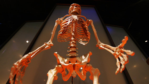 Das menschliche Skelett.