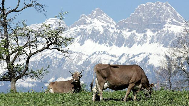 Frühling im St.Gallischen Seeztal: Während unten bereits Kühe weiden, hält sich oben der Schnee hartnäckig.
