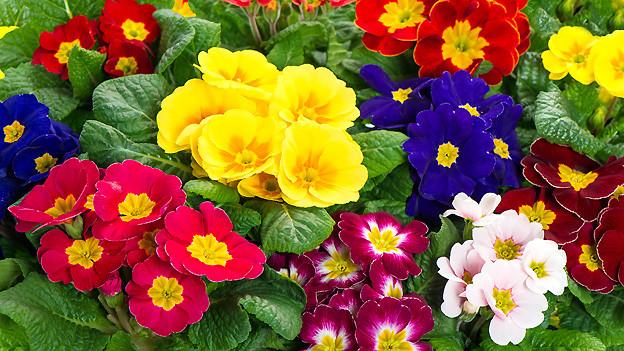 Farbenfroher Frühlingsflor mit Primeln