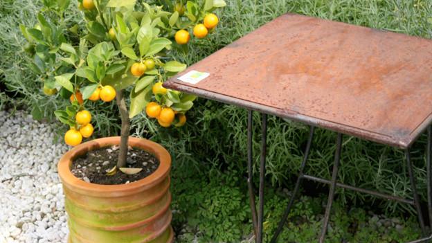 Zitrus-Pflanzen brauchen Spezialbehandlung.