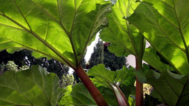 Kein Obst, sondern ein Stielgemüse: Die Rhabarberpflanze.
