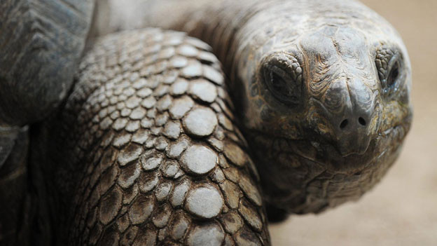 Fühlen sich wohl im Sommer: Galapagos Schildkröten.