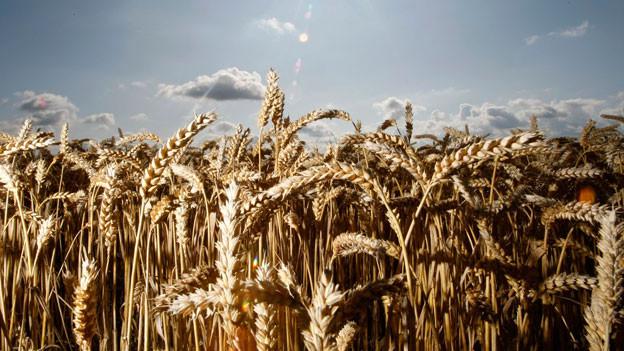 Auch die Weizenfamilie hat seit der Entdeckung eine Sorte mehr.