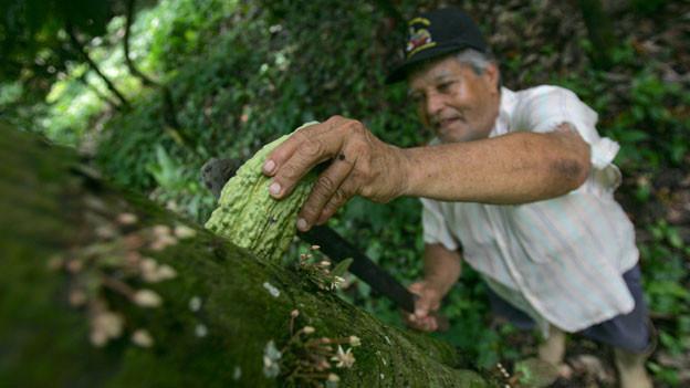 Farmer in Südamerika erntet eine Kakaofrucht.