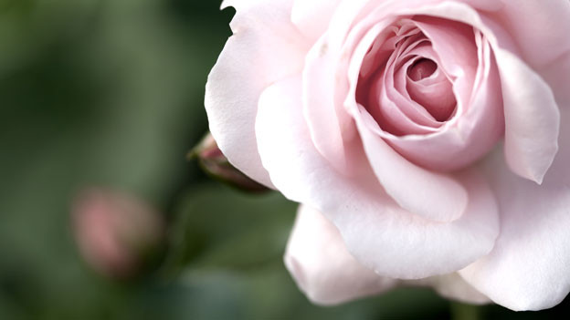 Rosenwasser: Die Essenz der Rosen wird gerne in der Küche verwendet.