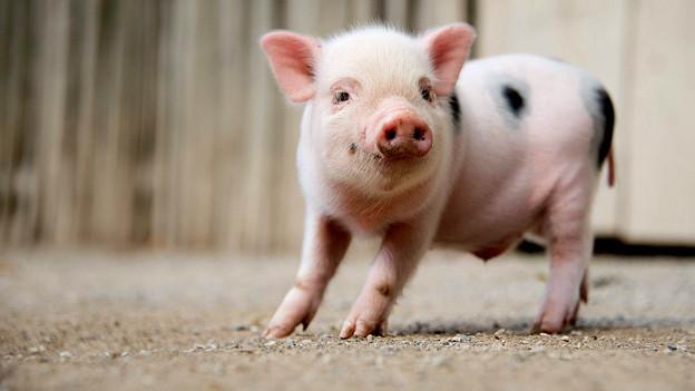 Ist dieser «Schnüggel» der nächste Sommerloch-Retter? Eines von zehn neugeborenen Mini-Schweinchen im Hannover Zoo.