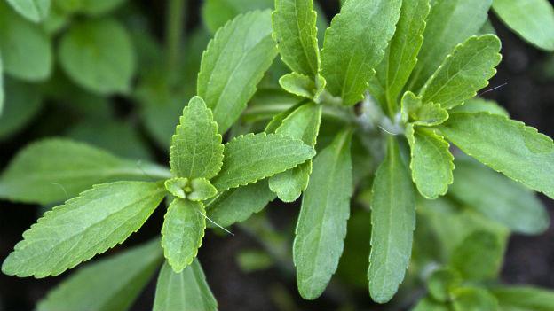 Das natürliche Süssmittel aus der südamerikanischen Pflanze Stevia süsst bis zu 300 Mal stärker als herkömmlicher Zucker.