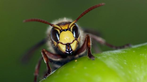 Nervige Wespen stören im Sommer beim Essen.