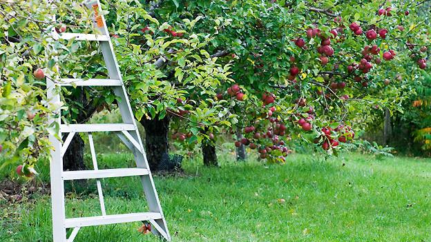 Mit einer gut verankerten Leiter lässt sich die Ernte sicher einbringen.