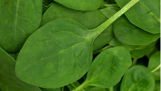 Junger Spinat eignet sich hervorragend als Salat