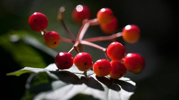 Leuchtend rote Beeren.