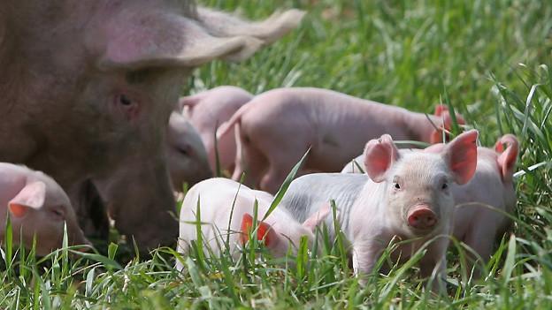 Ferkel mit Mutterschwein im Freien (Symbolbild).