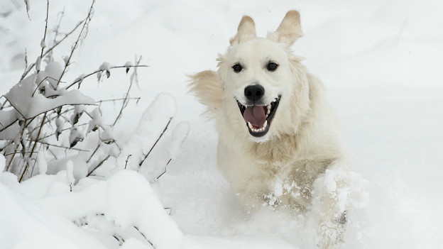 Toben im Schnee ist für viele Hunde das pure Glück!