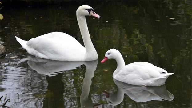 Dank dem Schwanen-Freund nicht mehr wasserschau: Der Höckerschwan (l.) im Tierpark Goldau.