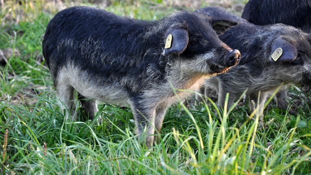 Wollschweine aus der Zucht von Martin und Andrea Rhis.