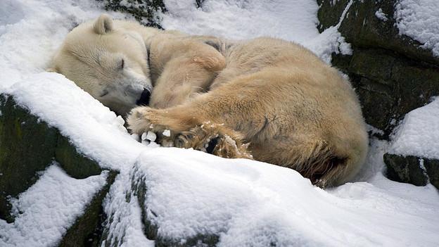 Schlafender Eisbär im Berliner Zoo.
