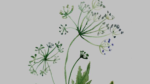 Anispflanze