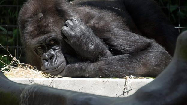 Gorilla im Basler Zolli