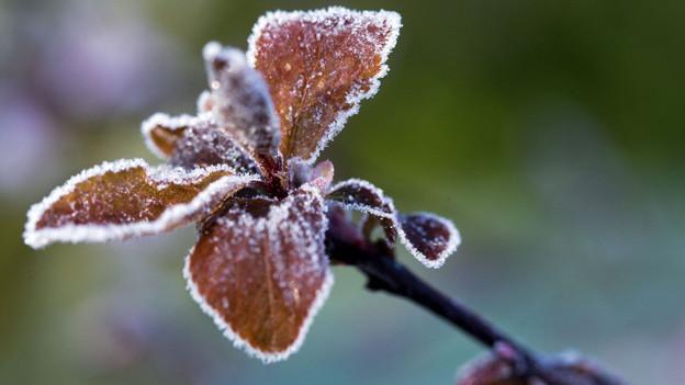 Frost auf Pflanze.