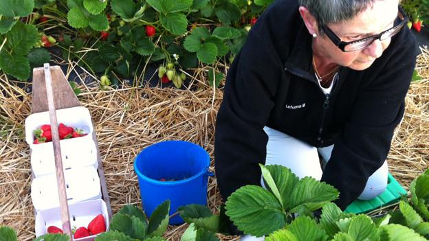 Eine Frau bei der Erdbeerernte.