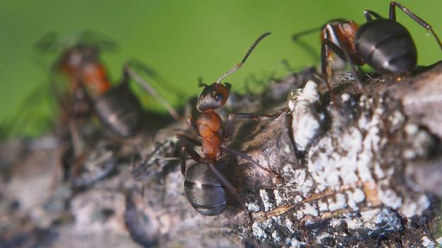 Ameisen auf einem Ast.
