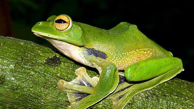 Grüner Frosch mit leuchtenden Augen.