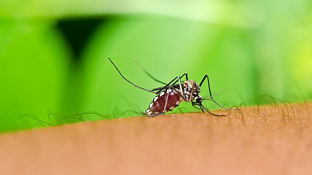 Mücke auf dem Arm eines Menschen.