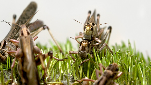 Heuschrecken im Gras.
