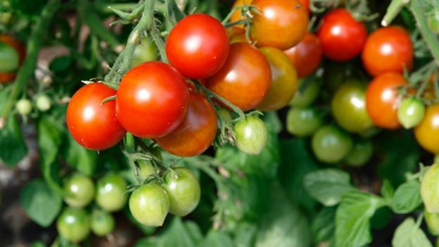 Kleine Tomaten an einem Strauch.