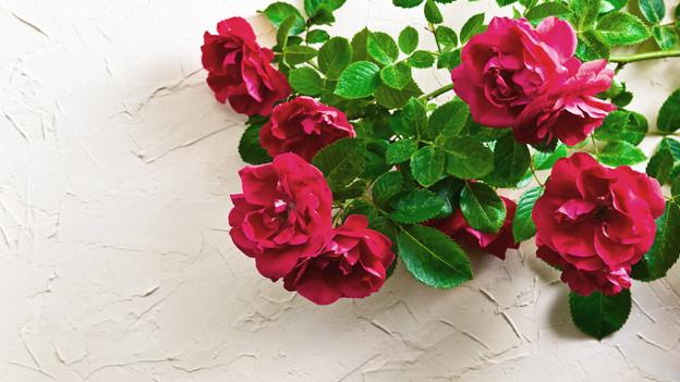 Rote Rosen an einer Hauswand.